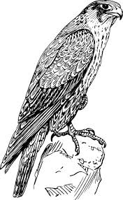 amazing animal peregrine falcon bird coloring pages netart