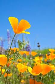 arizona flowers wildflower viewing in the arizona state area
