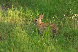 species spotlight eastern cottontail rabbit