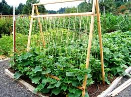 Growing Cucumbers Up A Trellis Cucumber Growing A Beginners Guide Kisan Central