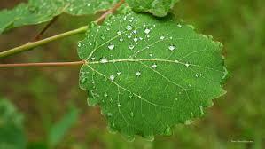 aspen leaf free stock photo public domain pictures