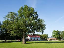 oak tree in estonia named the european tree of the year 2015