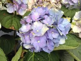 hydrangea hydrangea macrophylla beautiful flowers for garden
