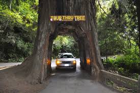 Chandelier Drive Through Tree The Two Rv Gypsies Drove Through The Middle Of The Redwood Tree 2