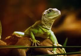 Seeking Lizard Reptile Pet Care Pet Sitters For Reptiles