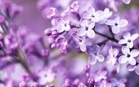 purple acacia flower wallpaper