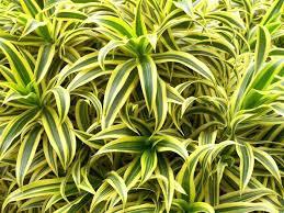 plante de chambre plante depolluante peinture plante plantes pour votre plante