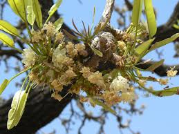 plants native to africa the sheanut tree the wonder tree bernice agyekwena u0027s blog