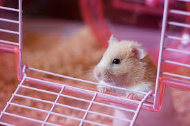 All Living Things Luxury Rat Pet Home by What Do Hamsters Need For Supplies Hamster Supplies