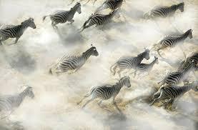 zebras on the move magazine articles wwf