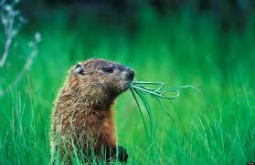 groundhog 2012 10 facts animal