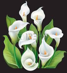 Calla Lillies 1 221 Calla Lily Stock Illustrations Cliparts And Royalty Free