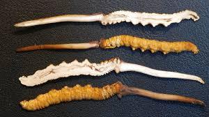 caterpillar fungus the viagra of the himalayas npr