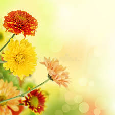 colorful mums flowers on warm bokeh background stock images