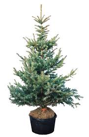 live christmas trees plant preview to choose a living christmas tree think outside the box