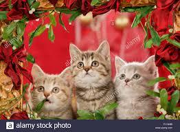 shorthair trio kitten looking at garland ribbons and