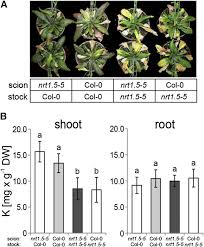 scion plant nitrate dependent control of shoot k homeostasis by the nitrate