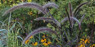 add ornamental grass with august plant advice at homebase co uk