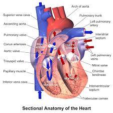 Diagram Heart Anatomy Human Heart Valves Diagram Heart Anatomy Chambers Valves And