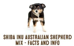 australian shepherd traits shiba inu australian shepherd dog mix u2013 information and facts my