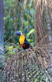 when large birds disappear rainforests suffer science smithsonian