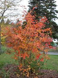 perennials colour orange zone 5 search shrubs small
