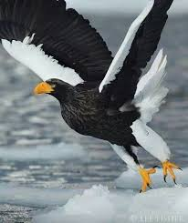 stellers sea eagle wallpapers 1409 best birds of prey eagles accipitridae images on pinterest