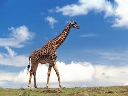 free giraffe wallpaper animals town