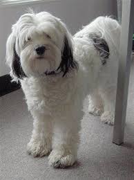 hair cuts for the tebelan terrier 183 best tibetan terriers and bearded collies images on pinterest
