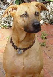 american pitbull terrier in india 11 most dangerous indian dogs pethelpful