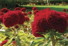 coxcomb flower cockscomb planting information and transplant soil conditions