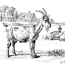 free coloring pages goats goats coloring pages free coloring pages nanny goat coloring page in
