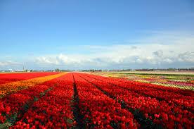 imaggeo tulip fields near keukenhof the netherlands