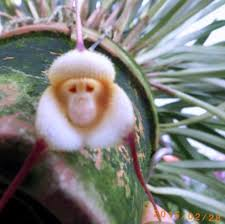 monkey orchid orchids monkey orchid