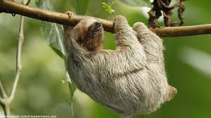 4 toed sloth interesting facts about sloths just facts