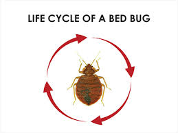 How Often Do Bed Bugs Reproduce How Do You Get Bed Bugs 6 Most Common Ways