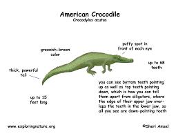 crocodile american