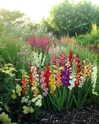 best 25 gladiolus flower ideas on pinterest gladioli beautiful