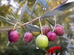 Fragrant Olive Plant A Beginner U0027s Guide To Olives 14 Varieties Worth Seeking Out