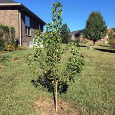 how i planted bare root trees snappy living