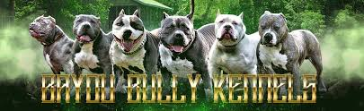 american pitbull terrier for sale in ohio blue pitbull breeders in louisiana bayou bully kennels