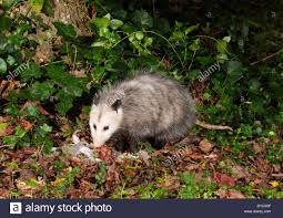 virginia opossum didelphis virginiana scavenging at night at