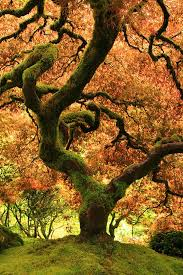 oregon japanese garden fall tree photo portland oregon