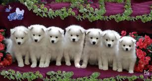 american eskimo dog tricks american eskimo puppies cutest thing ever pinterest