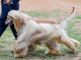 does an afghan hound shed dog breeds that don u0027t shed is there such a thing as a