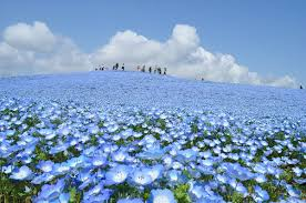 Flowers In Japanese Culture - hitachi seaside park visit ibaraki japan places pinterest
