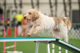 australian shepherd 2015 westminster 2015 westminster dog show competitors berks thoughts on paws