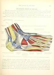 Anatomy Of The Calcaneus File Atlas And Text Book Of Human Anatomy 1914 20337038512
