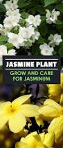 Fragrant Jasmine Plant - blooming in the summertime jasmine plants are known for their