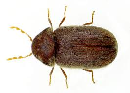 tiny brown bugs in my kitchen cabinets drugstore beetle
